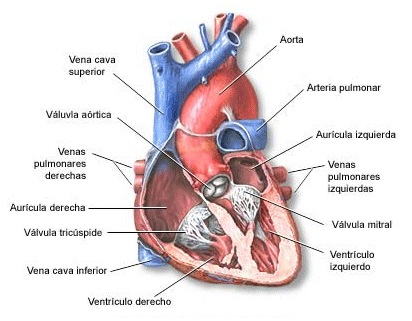 Cómo Funciona el Corazón?